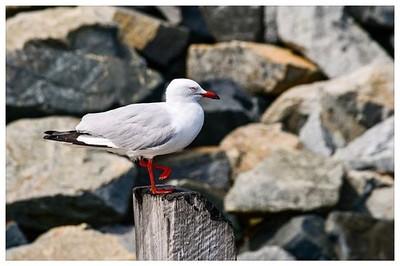 Johnathon Seagull