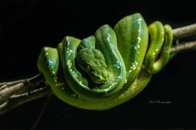 Green snake by christinepanlaqui - Snakes Photo Contest