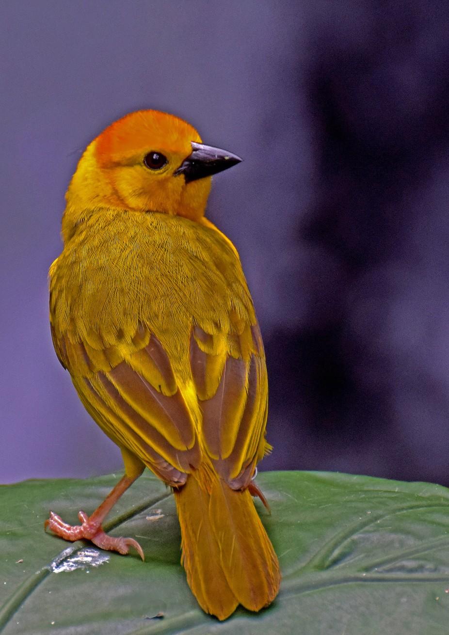 Taveta Golden Weaver Bird . Tanzania Africa