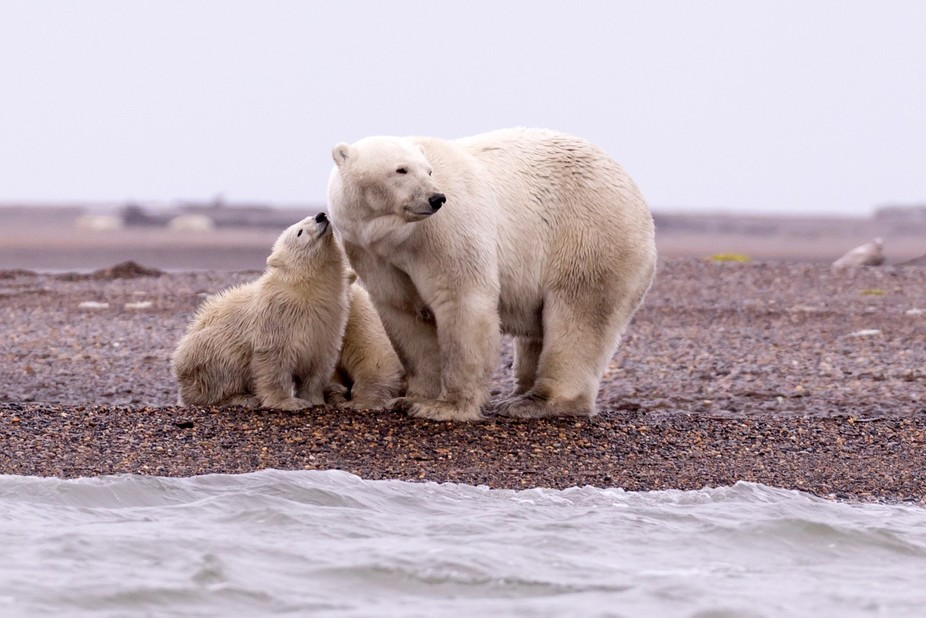 Polar bears waiting for the ice to return to Kaktovik, Alaska