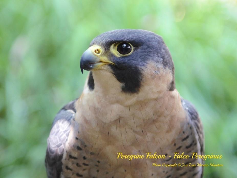 Peregrine Falcon. Bird of Prey. Fauna Control Service.  Malaga-Costa del Sol International Airpor...
