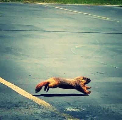 Marmot at work
