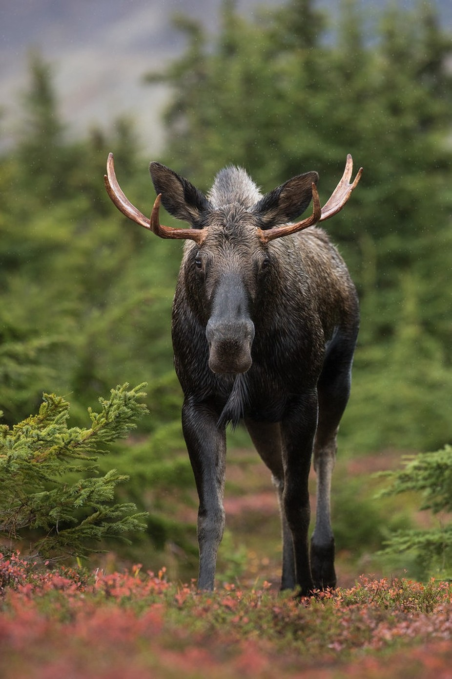 Moose by OutbackPhotoAdventures - Social Exposure Photo Contest Vol 12