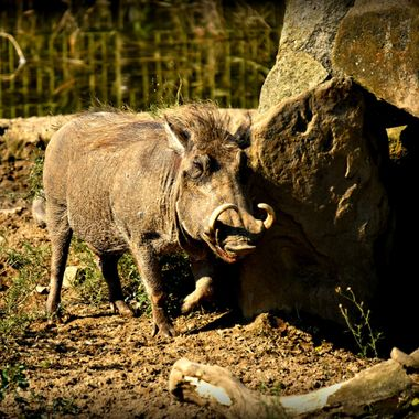 Wild boar with curly tusks.