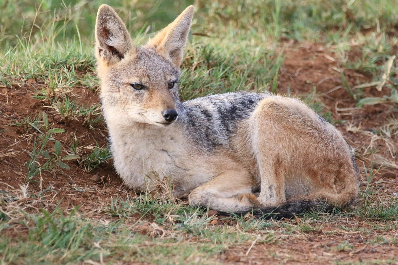 Juvenile jackal waiting for the early morning sun at the Rietvlei Nature Reserve   (BJE_2977_Cs)