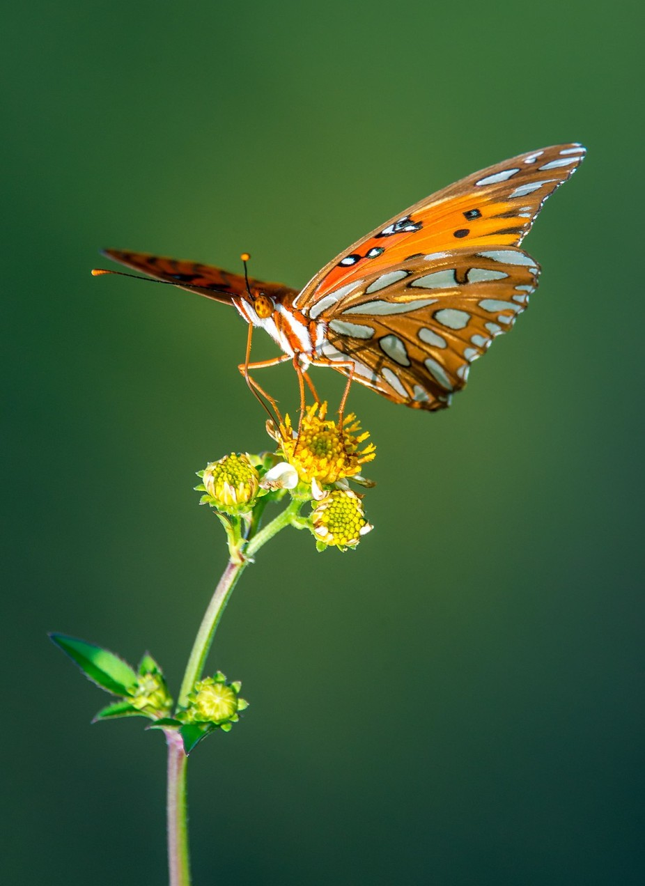 FrankAbbott_gulffritilary by franklinabbott - Macro And Patterns Photo Contest