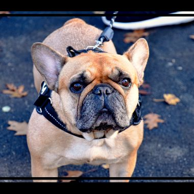 A French bulldog posing for me.
