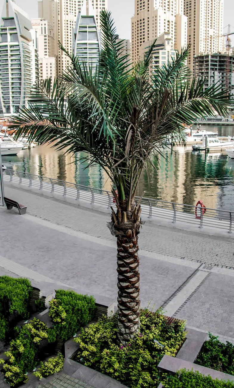 One of the palm trees lining Dubai Marina Walk in the UAE.
