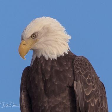 Eagle Bow