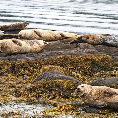 I took this photo when we went on a trip to Ireland, in August 2017. While we were going to Garinish Island (Seal Island) on a boat, there were seals lying on the rocks sunbathing. This was one of the photos that I took on the way to the island.