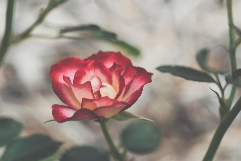 Variegated #rose captured in the last of #September's light - Fargo, North Dakota.