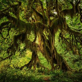 Vertical Pano of a giant glowing mossy tree in the Hoh Rain Forest.