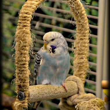 Budgie on a swing.