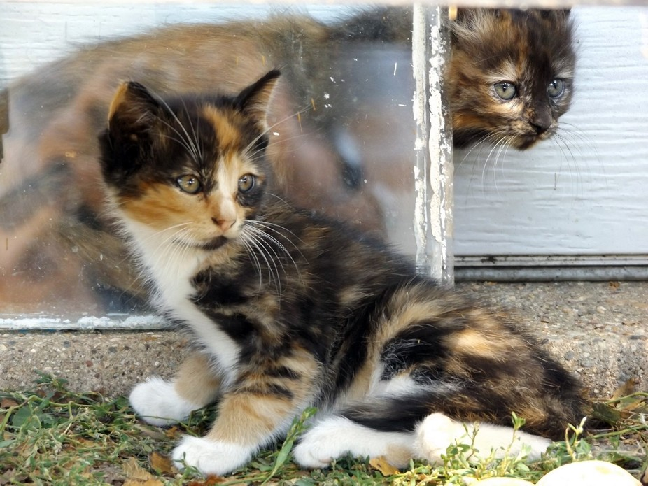 A couple of kitten siblings watch as one tries to hide behind a piece of glass