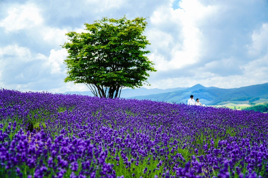 A pair of newlyweds taking wedding photos in the lavender fields of Furano