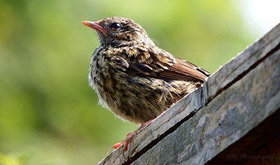 Fledgling Waiting For Mum and Dad