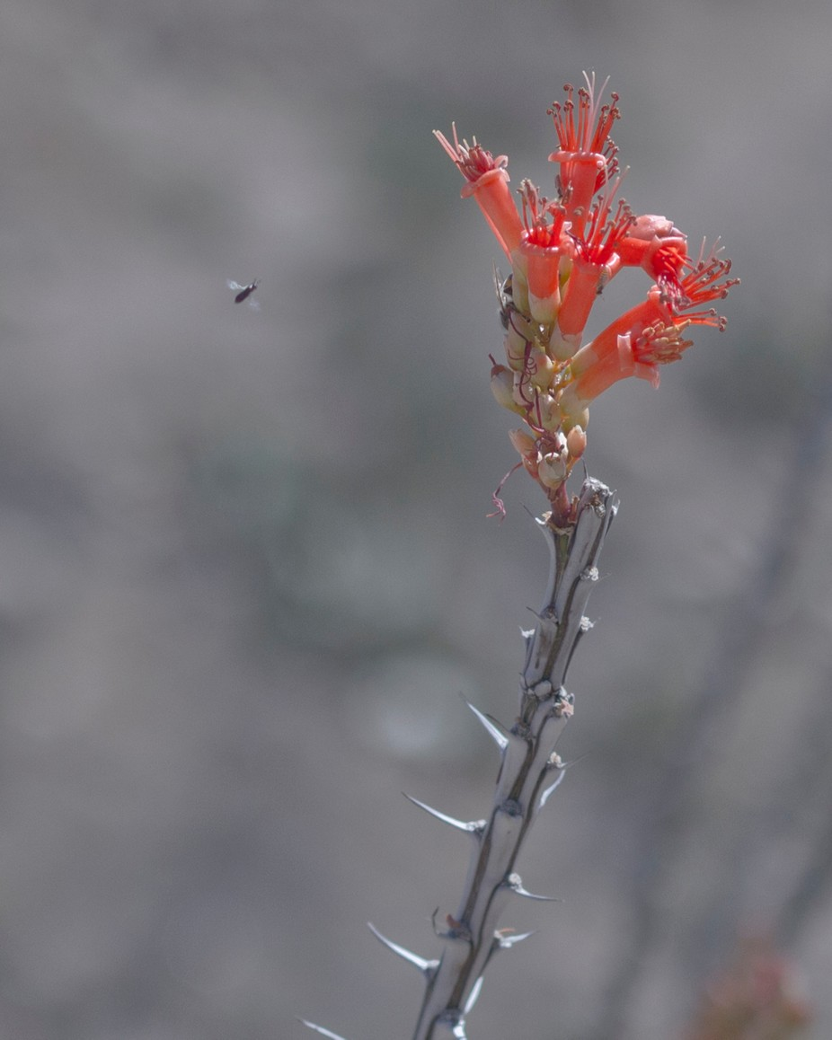 A bee makes a final approach to an ocotillo blossom