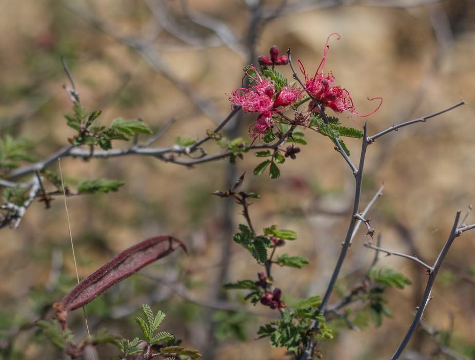 Valentine Emu Blossom