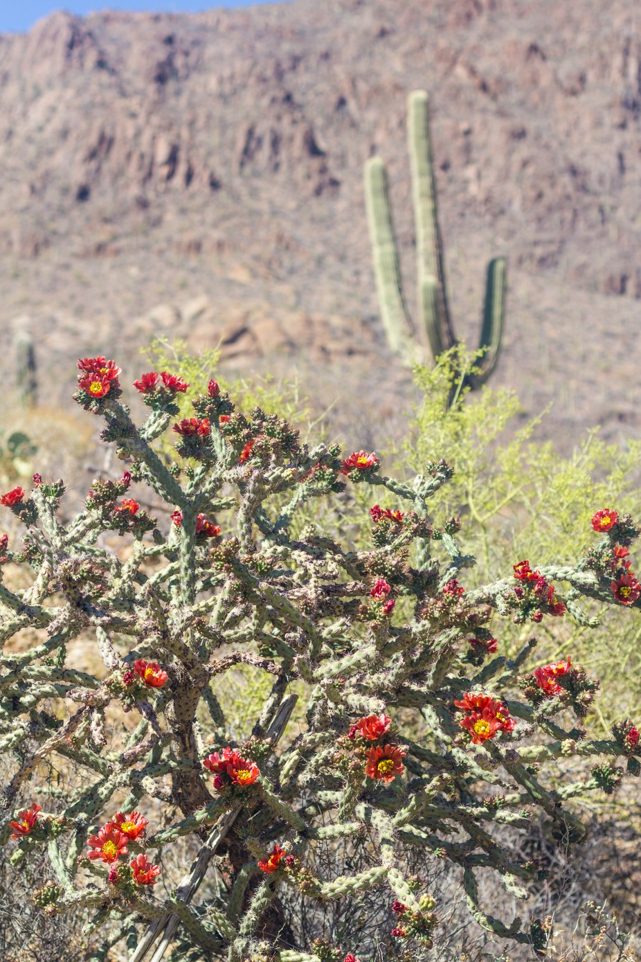 a cholla and saguaro cactus at the foothills in the desert