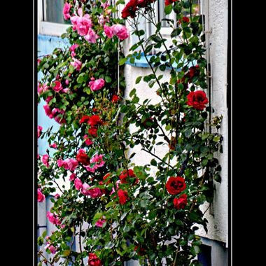 Flowers growing on a trellis,