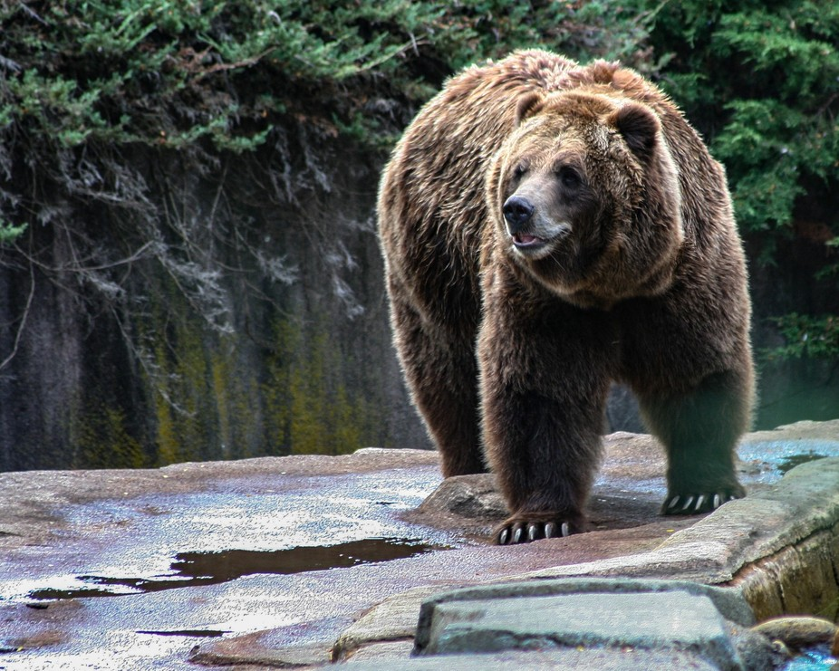 An Alaskan Brown Bear paces along a rock formation.