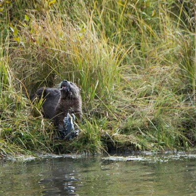 Otters enjoy their wonderful meal! Fish is the choice of the day! Follow for a series of photos of these wonderful little guys playing with their meal and fighting for it! Oxbow Bend #nature_perfection #superhubs #show_us_nature #grandtetons #instananimal