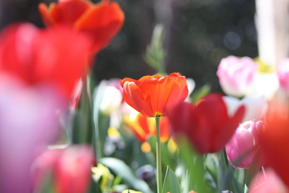 floriade in spring, the only orange flower in a pod of red and pink