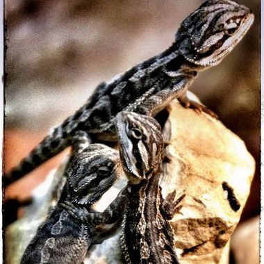 3 Geckos / Lizards battling for one place.
