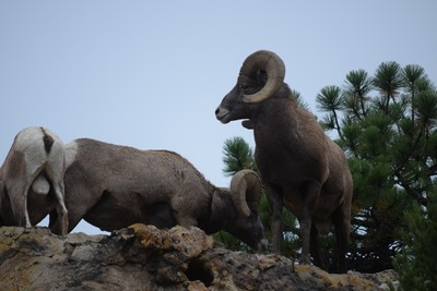 Big Horn Sheep_Garden of the Gods