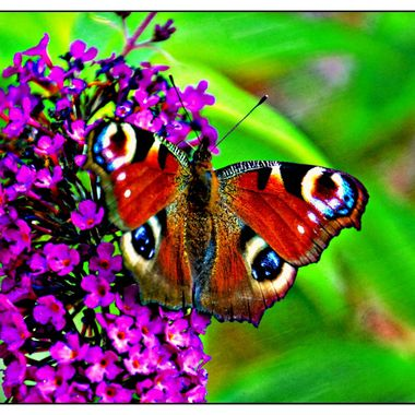 A beautiful Butterfly on some Lilac.