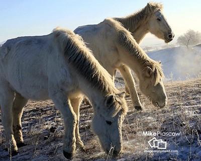 Wild horses Mongolia in winter