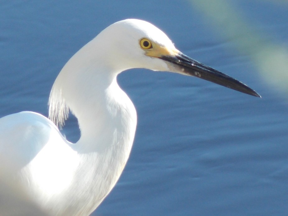 This snowy egret was sitting by a bridge having his breakfast at Pitts Neck creek which goes out ...