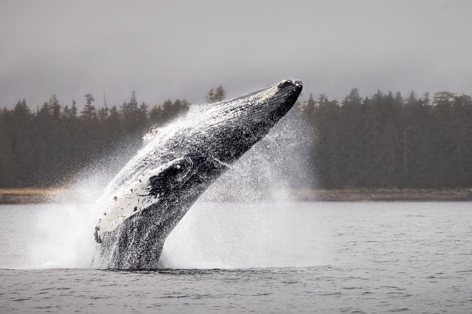 Humpback Whales are intensely interesting creatures. They're more talkative than any oth...