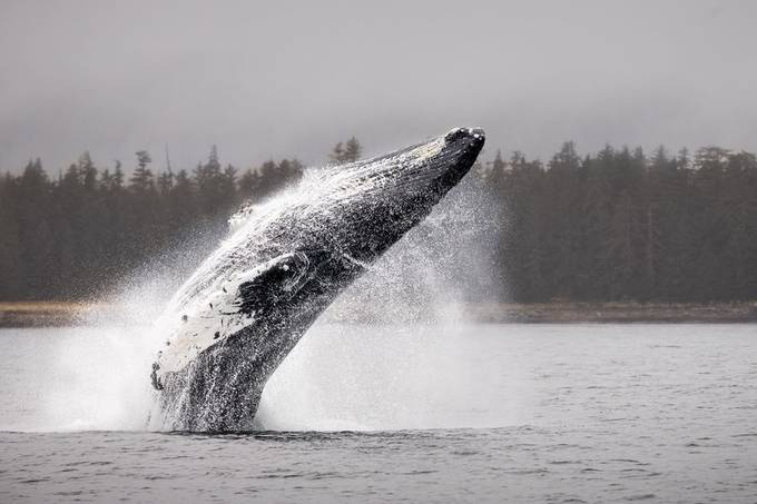Flying Humpback by wild_man_photo - Monthly Pro Vol 36 Photo Contest