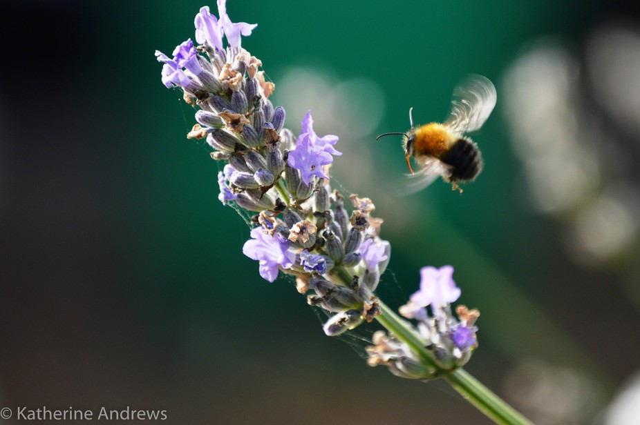 "I recently planted lavender in my garden as part of the UK-wide ""Save The Bees""..."