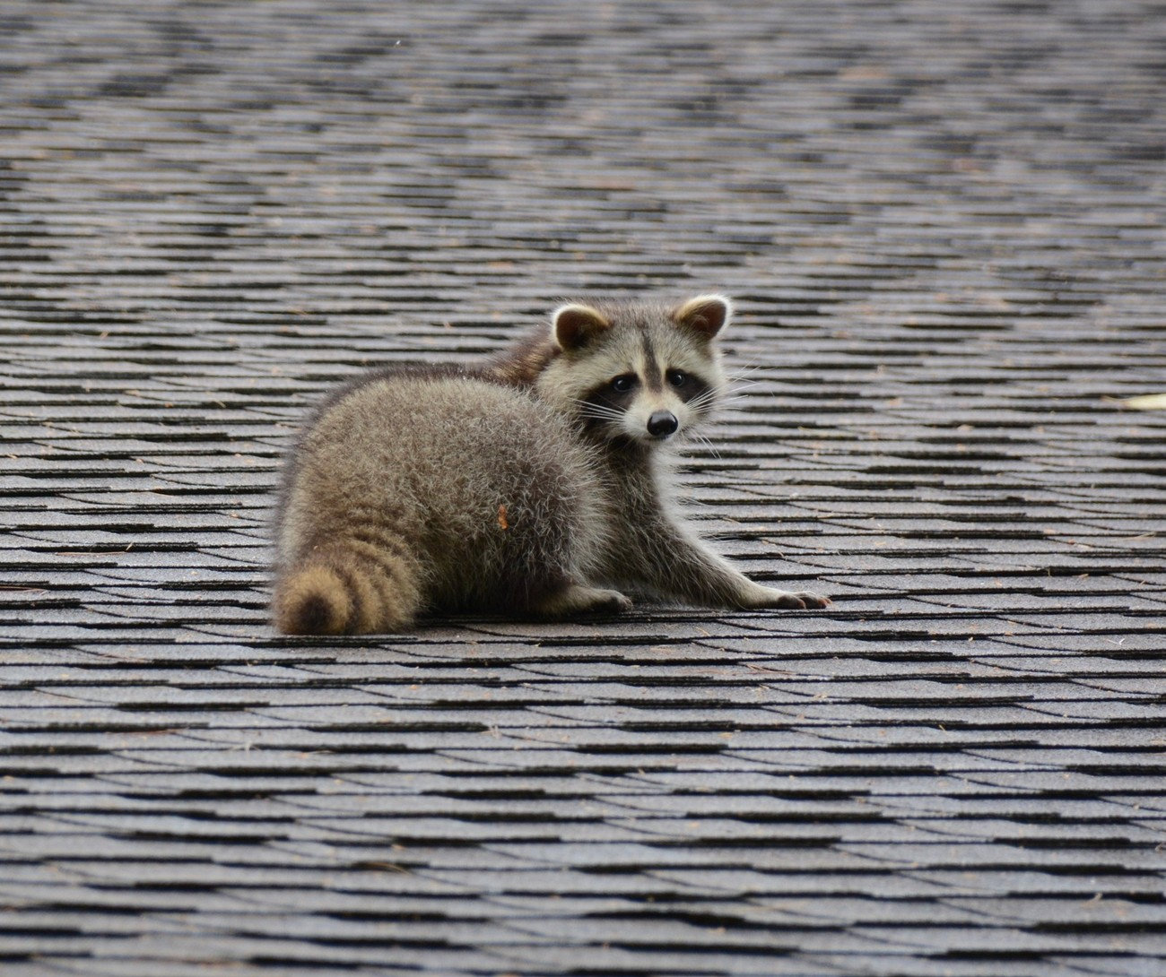 Busy Racoon
