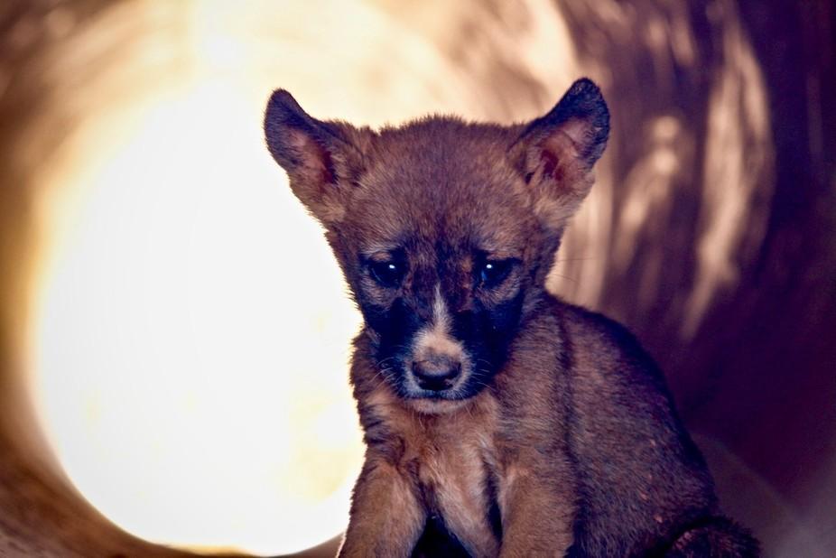 The dingo's have been having pups a plenty this season