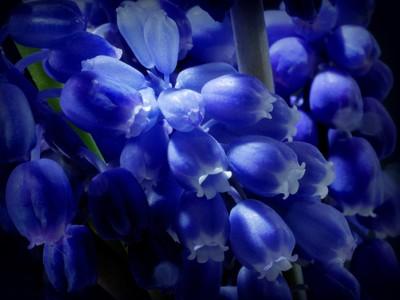 Blue Bells ...
