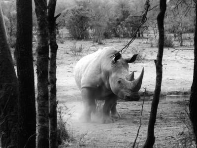 Rhinozeros in black and white