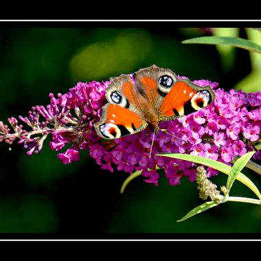 Butterfly on Lilac.