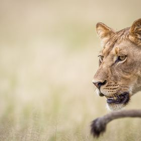 A picture of a Lion in the Central Kalahari Game Reserve, Botswana.