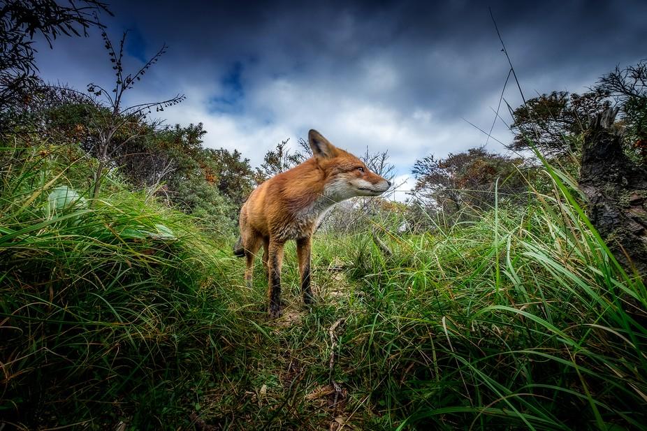 a fox following his trail