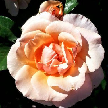Light pink-apricot rose