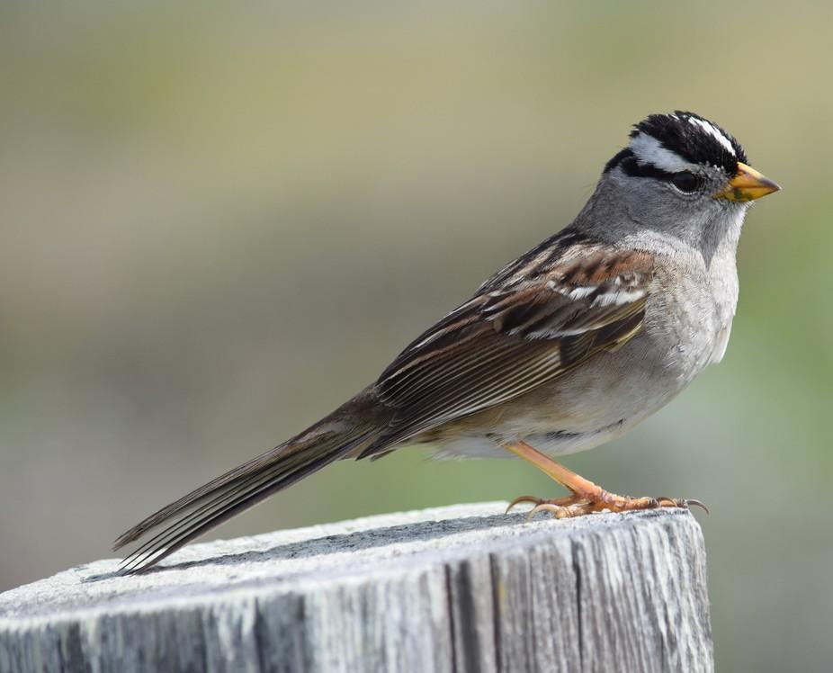 ,sparrow