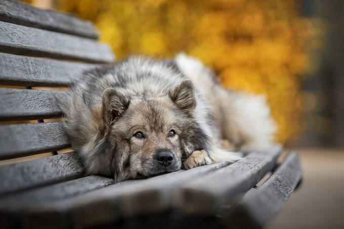 Eurasier by sabrinawob - Monthly Pro Vol 36 Photo Contest