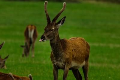 Deer Innocence