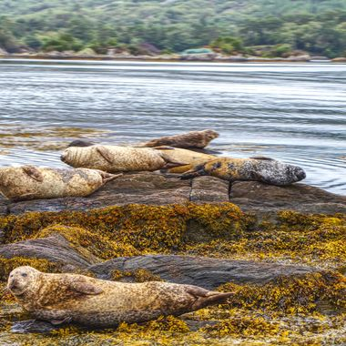 I took this photo when me and my wife were visiting Ireland, in August 2017.  While we were going to the Garinish Island (Seal Island), I saw these seals sunbathing on the rocks. This is one of the photos I took from the boat.