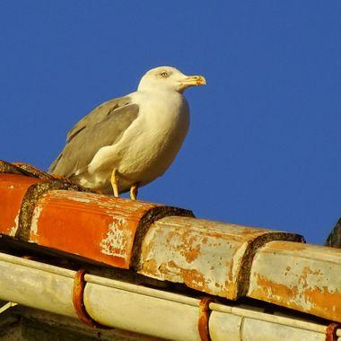 Seagull in Cinque Terre, Italy
