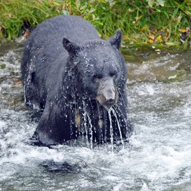 In Hyder, Alaska, we watched this bear try over and over, numerous times, to try to catch salmon (there were so many that you could walk across the river on them!), but she just couldn't seem to catch any-in about 40 tries, she caught 2!  Her preferred method of fishing was looking from the bank and then charging into the river...