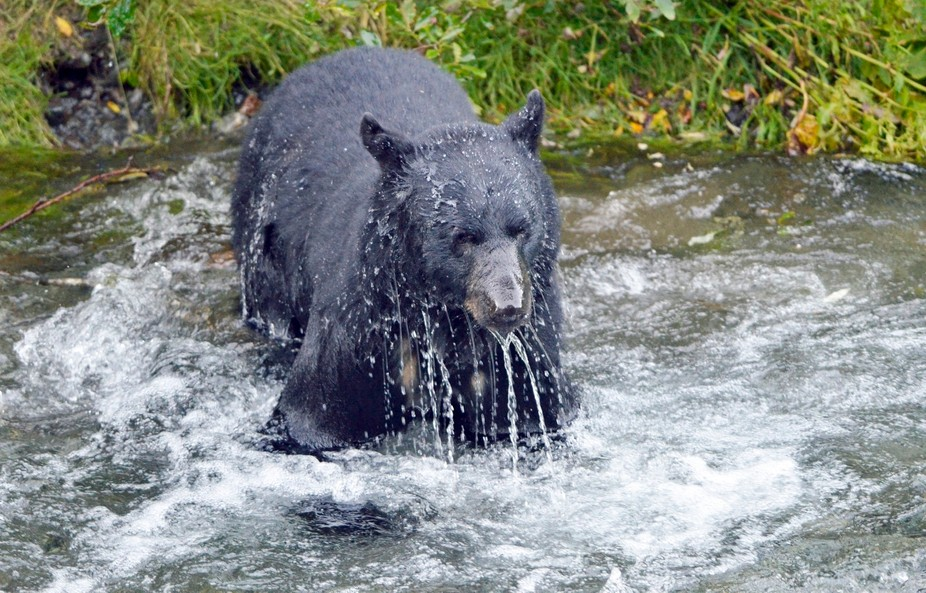 In Hyder, Alaska, we watched this bear try over and over, numerous times, to try to catch salmon ...